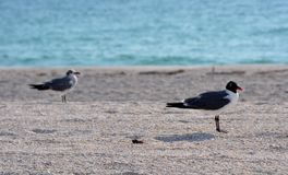 Seagull birds at the beach Royalty Free Stock Photography