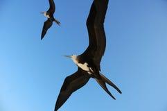 Seagull birds in flight Royalty Free Stock Photo