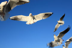 Seagull birds flying Stock Photography