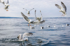 Seagull birds in food fight Stock Photography