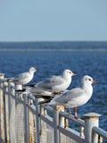 Seagull birds, Lithuania Stock Photos
