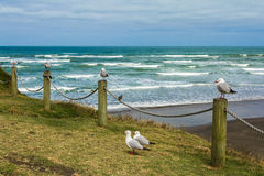 Seagull Birds at Muriwai Beach Auckland New Zealand. Morning time Royalty Free Stock Images
