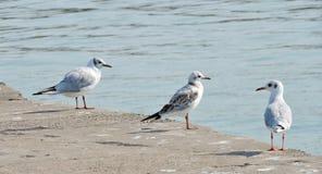 Seagull birds  near lake Royalty Free Stock Image