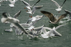 Seagull birds seeking for food. Group of seagull birds seeking for food in Tiberias, Israel Stock Image