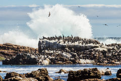 Birds sitting on rock. Seagull birds sitting on rock next to shattering waves Royalty Free Stock Image