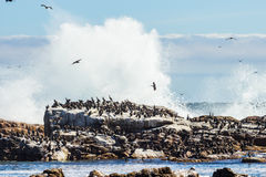 Birds sitting on rock. Seagull birds sitting on rock next to shattering waves Royalty Free Stock Images