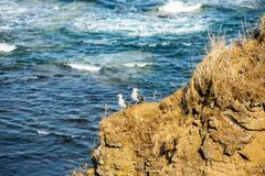 Seagull birds standing on the hill on sea background. Image of white and gray seagulls sitting on the beach. Beautiful Seagull birds standing on the hill on sea royalty free stock photography