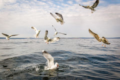 Seagull birds waiting for fish rests Royalty Free Stock Images