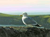 Seagull - blågrön fiskmås (Larushyperboreusen) Arkivbilder