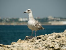 A seagull Stock Image