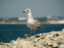A seagull. On the Black Sea shore Stock Image