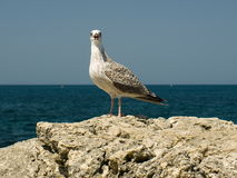 A seagull 2. A seagull on the Black Sea shore Royalty Free Stock Photo