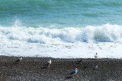 Seagull at the Black sea. In summer Stock Photography