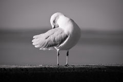 Seagull in black and white. Preening on a wall Stock Photography