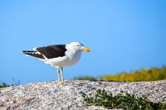 Seagull black and white bird with yellow and red beak on the stone on bright blue sky background close up royalty free stock photos