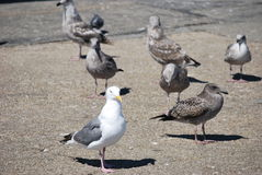 Seagull bland en grupp av fåglar Royaltyfri Fotografi