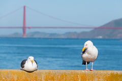 Seagull blisko Golden Gate Bridge Zdjęcie Royalty Free