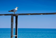 Seagull on blue background. Of the sea Royalty Free Stock Images