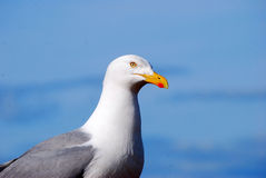 Seagull and blue ocean. Portrait of seagull with blue ocean in background Stock Images