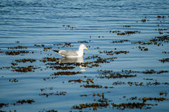 Seagull in a blue sea Stock Image