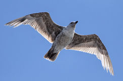 Seagull on a Blue Sky Royalty Free Stock Images