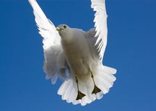 Seagull in a blue sky Royalty Free Stock Images
