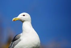 Seagull blue sky Royalty Free Stock Photo