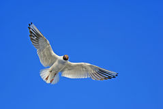 Seagull in blue sky Stock Photography