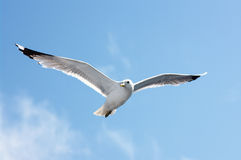 Seagull in blue sky Stock Images