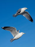 Seagull on blue sky Royalty Free Stock Photography