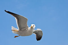 Seagull in blue sky. Seagull's flight on sunny day, with blue sky Stock Images