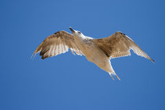 Seagull on the blue sky background. Royalty Free Stock Photography