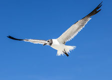 Seagull on blue sky background Royalty Free Stock Images