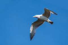 Seagull on blue sky background Stock Photo