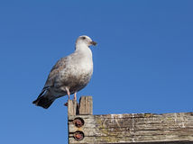 Seagull on blue sky background Royalty Free Stock Photo