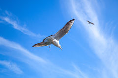 Seagull on blue sky background with windy clouds Royalty Free Stock Images