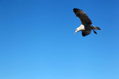 Seagull in the Blue Sky without Clouds Royalty Free Stock Image