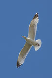 Seagull. / blue sky / freedom / seaside Royalty Free Stock Photo