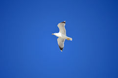 Seagull In A Blue Sky Stock Photography