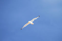 Seagull in the blue sky Royalty Free Stock Photography