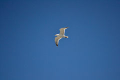 Seagull. Blue sky and white bird Royalty Free Stock Image