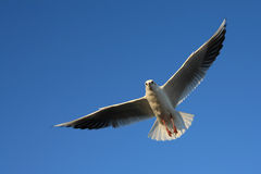Seagull blue sky wings. Bird fly goal sky blue sunny day seagull Stock Images