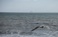 A seagull, blue waters and the horison. This image shows a seagull flying over the blue waters of the sea and the horizon in the distance Stock Images