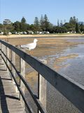 Seagull on boardwalk, Urunga Lagoon, Australia. Seagull on wooden boardwalk in Urunga Lagoon, Australia on sunny day Stock Photography