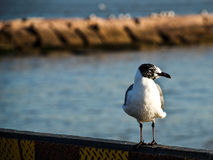 Seagull on Boat. Seagull Bird sitting on Ocean Barge stock photo