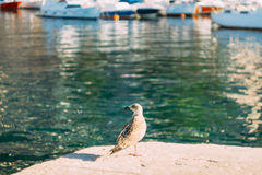 Seagull on boat moorage. Close-up. In Montenegro, the Adriatic S. Ea Royalty Free Stock Photos