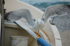 Seagull on the boat with open wings. A seagull on the boat with open wings Royalty Free Stock Photography