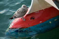 Seagull on boat`s bow. A young gull sits on the bulbous bow of a fishing boat in Padstow Harbour royalty free stock photo
