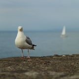 Seagull With Boat. Seagull with Sailing Boat in Background Royalty Free Stock Photo