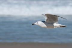 Seagull in Bondi Beach Royalty Free Stock Photos